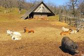 Dieren op de boerderij — Stockfoto
