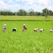 Farmer in the paddy field - Stock Photo