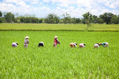 Farmer in the paddy field — Stock Photo