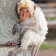 Little macaca monkey chained, looking sad. — Photo