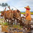 Javanese paddy farmer plows the fields the traditional way - Stock Photo