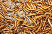 Hundreds of brown worms in their habitat. — Stock Photo
