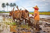 Agricultor de arroz javanesa arados los campos de la manera tradicional — Foto de Stock