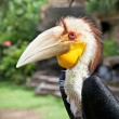 Male Hornbill in nature surrounding on Bali - Stock Photo