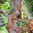 Big Bat hanging upside down on Bali — Stock Photo