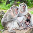 Monkey family in  Uluwatu , Bali, Indonesia. - Stock Photo