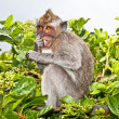 Monkey sitting on the branch tree on Bali - Stock Photo