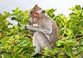 Monkey sitting on the branch tree on Bali — Stock Photo