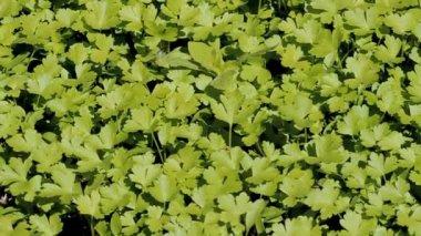 Swaying parsley leaves — Stock Video