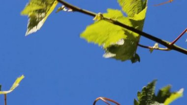 Grape leaves against blue sky