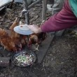 Feeding chiken — Stock Video