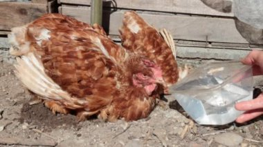 Feeding a chiken — Stock Video