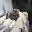 Hedgehog — Stock Photo #32612529