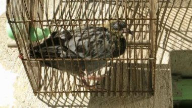 Pigeon in cage — Stock Video