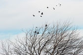 Raven mulberry tree — Stock Photo