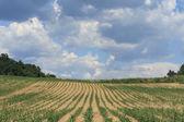 Cultivo del maíz — Foto de Stock