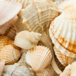 Stock Photo: Seshells
