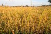 çeltik pirinç alan akşamları erken — Stok fotoğraf
