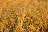 Paddy rice field early in the evening — Stock Photo