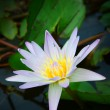 Close up of waterlily — Stock Photo