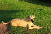 Dog relax — Stock Photo