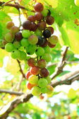 Green grapes on the ranch — Stock Photo