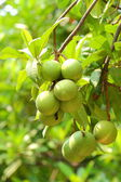 Cerbera oddloam fruit — Stock Photo