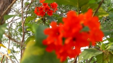 Geiger tree or cordial flowers — Stock Video