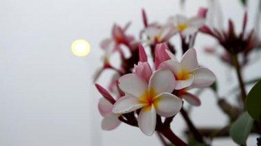 Frangipani or plumeria flowers — Stock Video