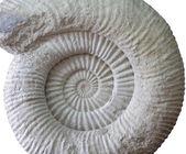 Ammonite prehistoric fossil on white  — Stock Photo