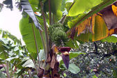 Banana tree with fruits and flower. — Stock Photo