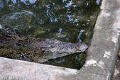 Cocodrilo (crocodylus palustris) de ladrón llamado también la india, indus, persa, cocodrilo de pantano — Foto de Stock