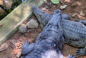 Mugger Crocodile (Crocodylus palustris) also called the Indian, Indus, Persian, marsh crocodile — Stock Photo