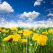 A beautiful meadow with flowering dandelions — Stok fotoğraf