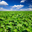 Rural landscape with fresh green soy field - Photo
