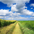 Country road through a field of sunflowers and soybeans field — Stock Photo