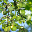 Fresh green apples on a tree — ストック写真