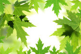 Maple leaves border over white. Natural frame with copy space — Stock Photo