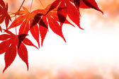 Beautiful red maple border over white with space for text — Stock Photo