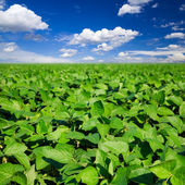 Rural landscape with fresh green soy field — Photo