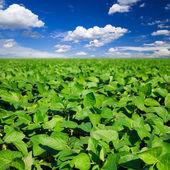 Venkovské krajiny s poli čerstvé zelené sójové — Stock fotografie
