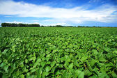 Rural landscape with fresh green soy field. Soybean field — Stock fotografie