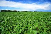 与新鲜的绿色大豆字段的农村景观。大豆田 — 图库照片