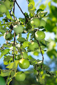 Fresh green apples on a tree — Stock Photo