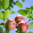 Red apples on an apple-tree branch in the garden — Stock Photo #12712995