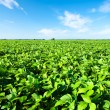 Rural landscape with fresh green soy field. Soybean field - Foto de Stock