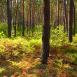 Colourful autumn landscape. Pine forest and fern — Stock Photo