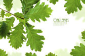 Green oak leaves frame isolated on white with copy space — Stock Photo