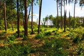 Beautiful landscape with pine forest and sunbeams — Stock Photo