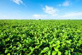 Ländliche landschaft mit frischen grünen soja-feld. soja-feld — Stockfoto
